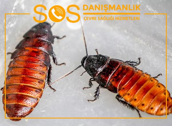 Hamam Böceği İlaçlama – Jel İlaçlama Hamam Böceğinde Etkili Mi?